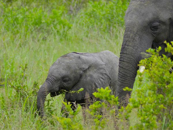 bernard-dupont-ccbysa-Baby_Elephant