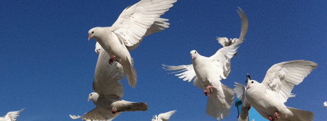 White Doves at the Blue Mosque in Mazar-e-Sharif. 2011 March 21 Peretz Partensky from San Francisco, USA. Modifications by Katherine Phelps 2017 March 03. CC BY SA 2.0 Generic